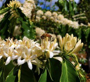 Kona Coffee Honey Bees